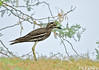 Eurasian Stone-curlew (Burhinus oedicnemus) by prasanth2406