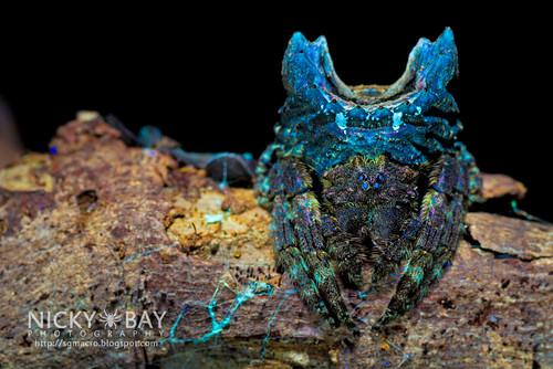 Broad-Headed Bark Spider (Caerostris sp.) - DSC_3828 | by nickybay