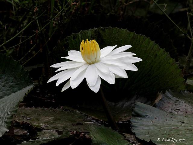 Nymphaea Lotus / Lotus tigré / Tiger Lotus