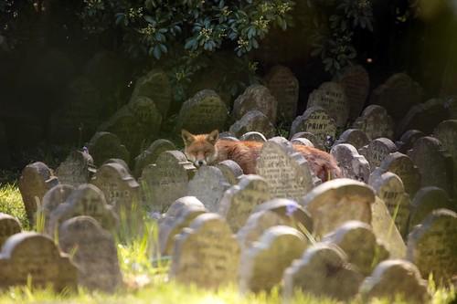 Cimitero degli animali: volpe