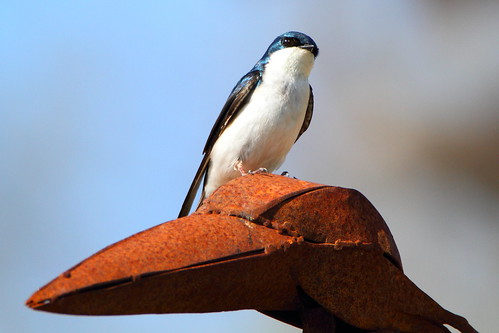 ontario canada tree wildlife swallow treeswallow wilcoxlake birdonbirdaction