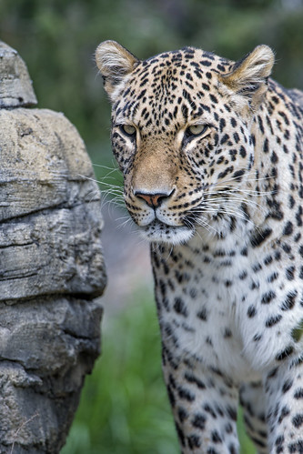 Male leopard besides the stone | by Tambako the Jaguar