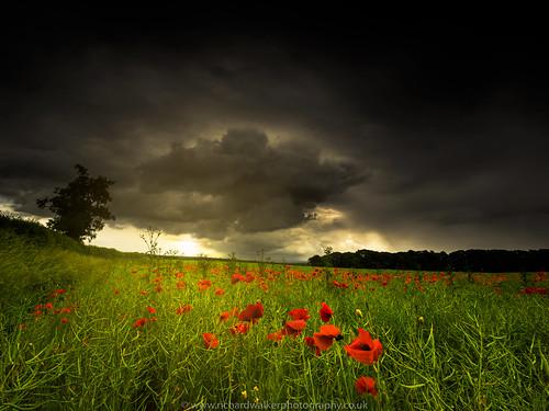 summer sky tree field rain clouds landscape dramatic stormy crop poppy poppies crops landscapephotography poppyfield