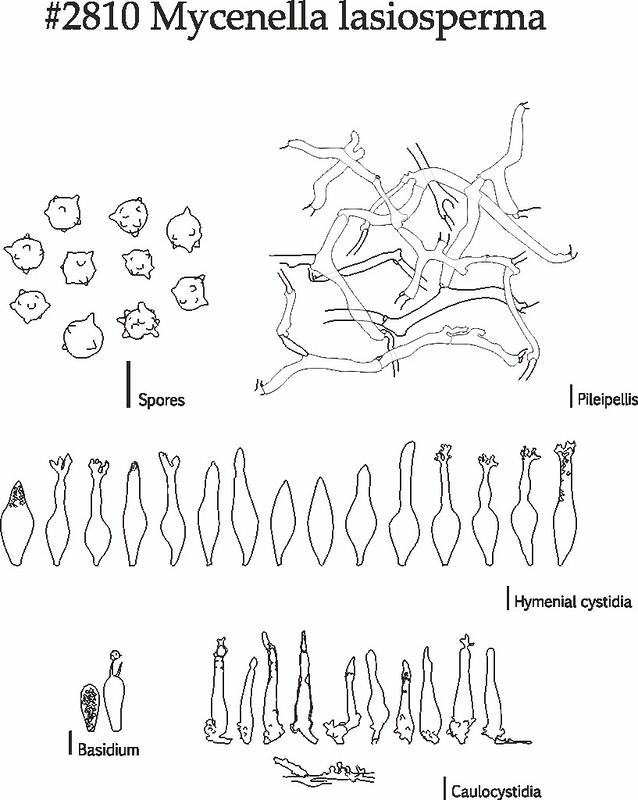 Mycenella lasiosperma, a sketch of microstructures
