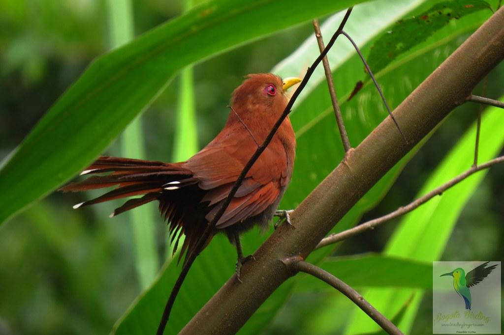 Little Cuckoo, Coccycua minuta, San Jose de Guaviare, Guaviare, Playa Guio