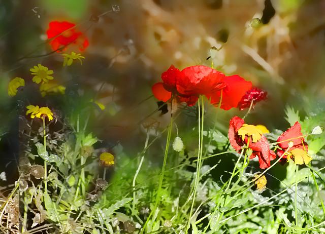 The last poppies in my garden