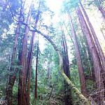 Image: Redwoods