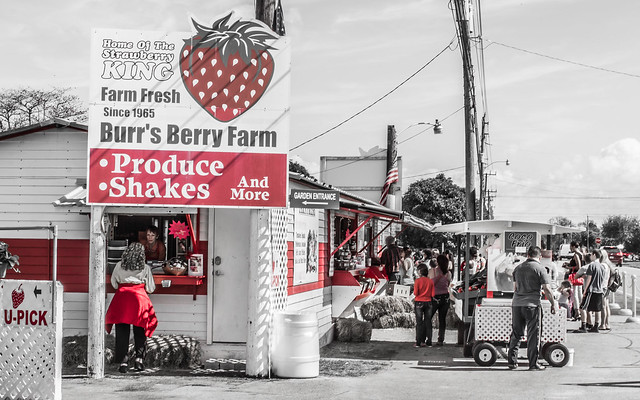 Burr's Berry Farm, Redlands, Fl.