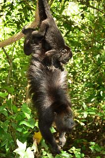 Community Baboon Sanctuary -Joe-2   by KathyCat102