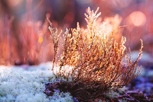 morning sun grass backlight canon landscape moss flora dof floor jan bokeh january nj ground wb vegetation pinebarrens 2013 canon135mml vsco lr5 5dmarkiii