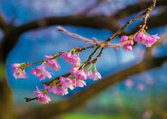 January Blossom
