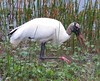 Wood Stork by simonsr35