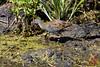 African crake (Crex egregia) in Tarangire by DragonSpeed