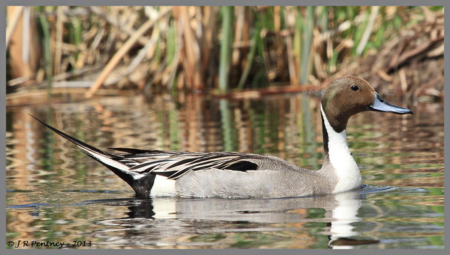 NorthernPintail_M_2351