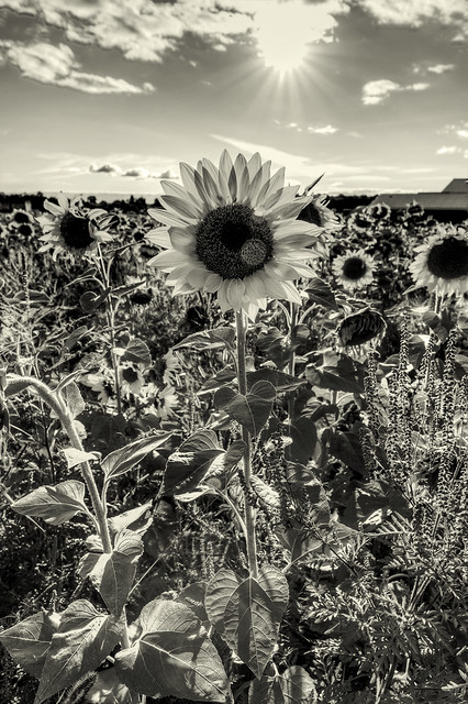 sun and flowerbw