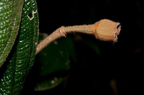 peru cuzco melastomataceae marcapata fieldpicture quispicanchis cullebrayoc marcapatacusco