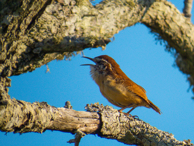 Carolina Wren, Morning Song