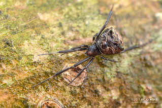 Comb-footed spider (Episinus sp.) - DSC_6870