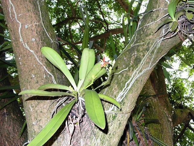Phalaenopsis cornu-cervi flowers habit