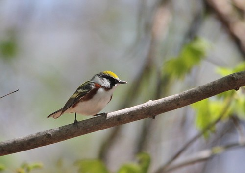 Chestnut-sided Warbler | by Birding In New Jersey
