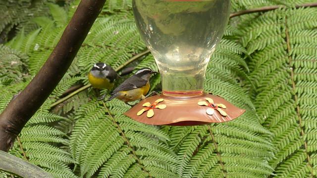 Sucrier à ventre jaune - Bananaquit - Coereba flaveola