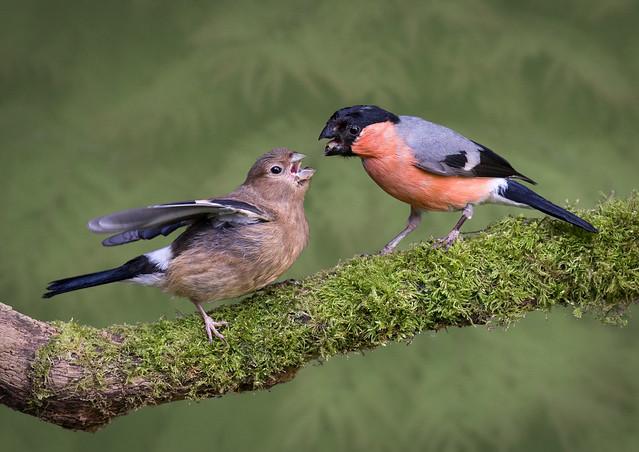 Bullfinch feeding juvenile