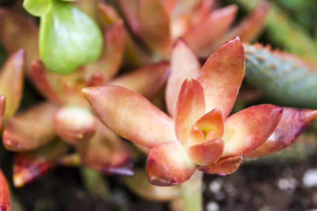 Macro #5 - Succulents - at Costco !
