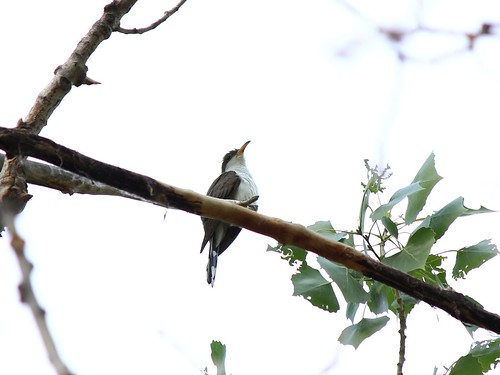 Western yellow-billed cuckoo | by USFWS Mountain Prairie