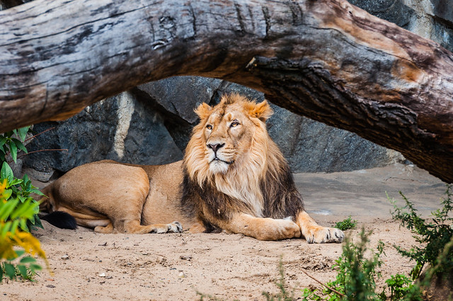 king of the animals