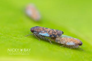 Leafhoppers (cf. Xestocephalus sp.) - DSC_9196