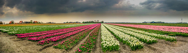 Vielfarbige Tulpenfelder / Tulips nurseries multi colored