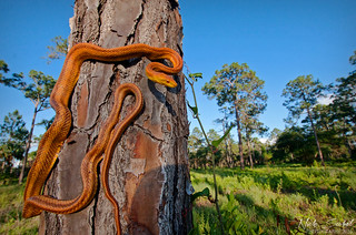 Everglades Rat Snake | by Nick Scobel