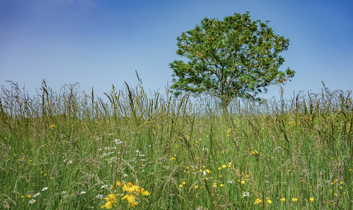 tree spring tuesday ash wildflowers es longgrass treemendous fraxinusexcelsior htmt