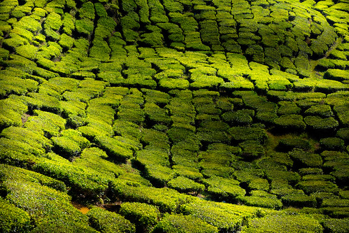 summer mountain plant tree green texture nature beautiful field landscape asian leaf high scenery asia pattern estate view tea terrace path farm background hill grow meadow aerial fresh line highland cameron malaysia plantation land organic agriculture tanahrata patches slope contour pahang agricultural munnar my