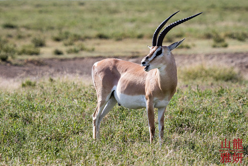 Grant's Gazelle   by DragonSpeed