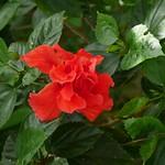 八重のハイビスカス 東南植物楽園