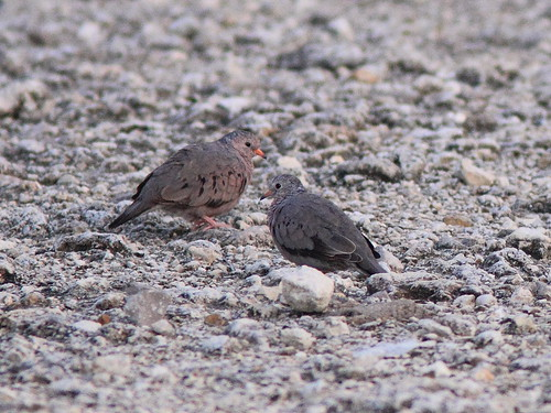 Common Ground-Doves 20130531