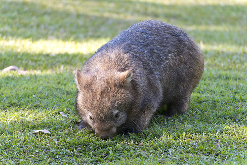Wombat | by swampa