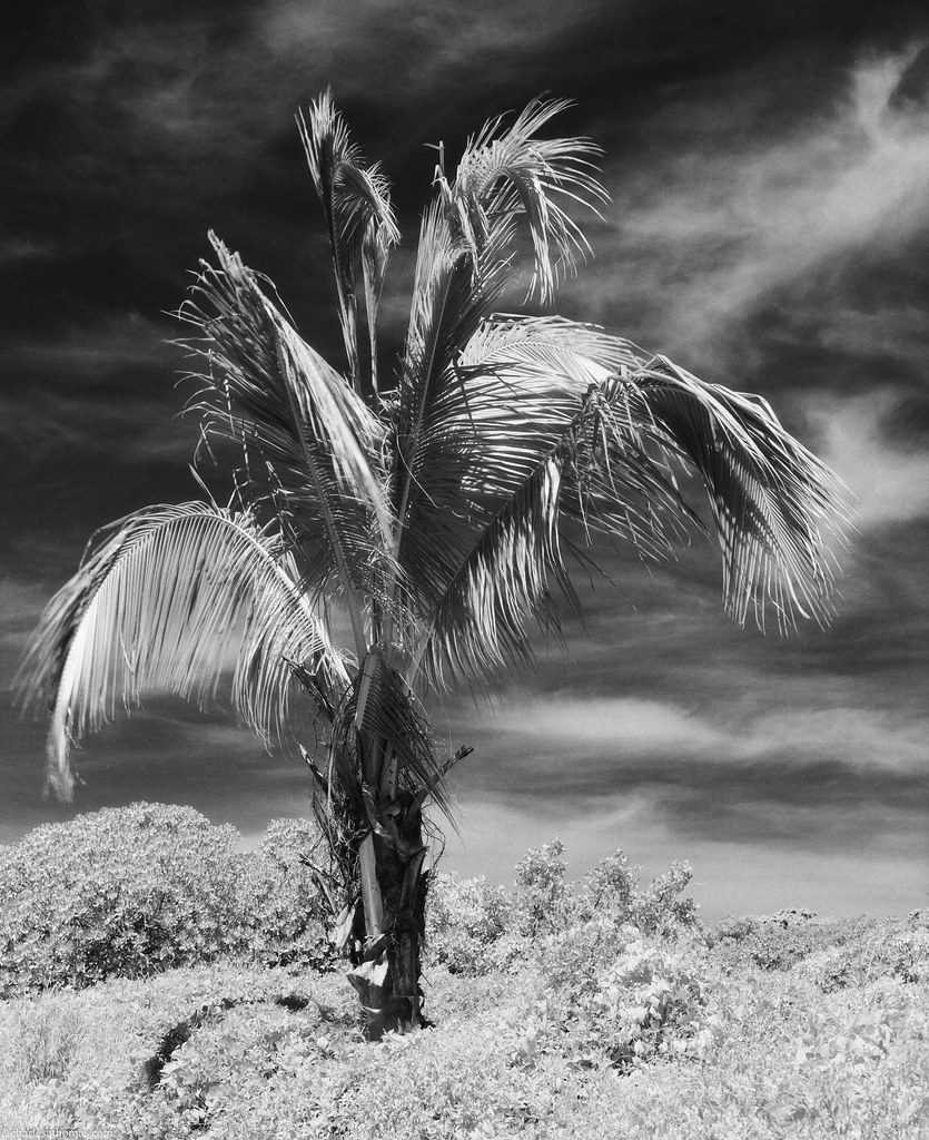 Island Palm Infrared