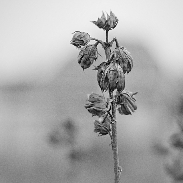 Wilted...