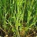 Flickr photo 'Centaurea cyanus L. / aciano, azuletes.' by: chemazgz.