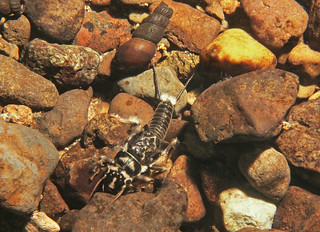Stonefly | by USFWS Pacific
