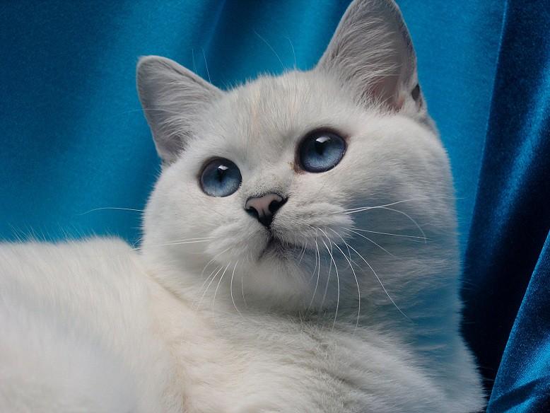 British Shorthair Chinchilla with Blue Eyes | Felilandcatter