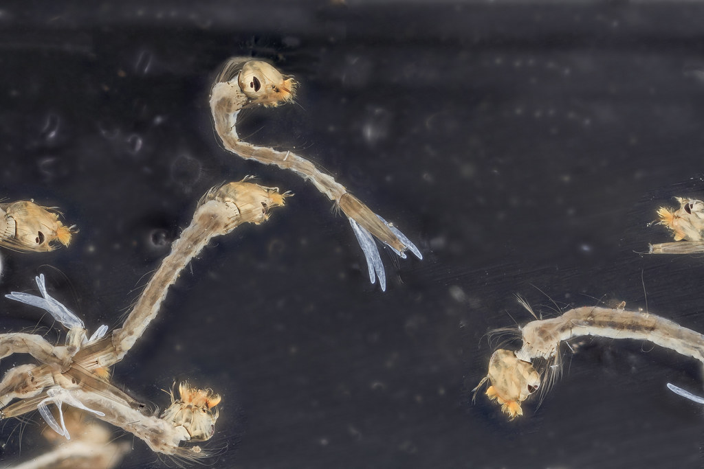 Mosquito larvae swimming in water