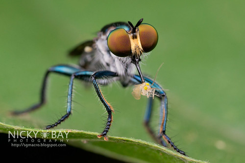 Robberfly (Laphriinae) - DSC_5952 | by nickybay