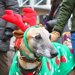 Greyhound Adventures & Trailbound Hounds at The 9th Annual Jingle Bell Walk  Boston MA, Dec 1st 2013
