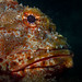 eastern red scorpionfish by AlistairKiwi