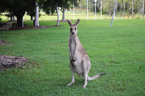 Kangaroos, USC Sippy Downs
