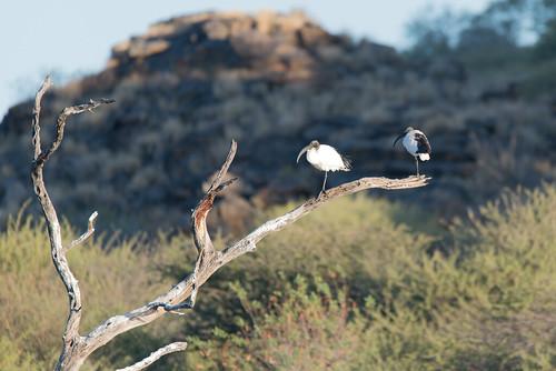 africa africansacredibis namibia bird wader ibis 2016 nature animal threskiornisaethiopicus windhoek otjozondjupa