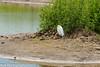 Little Egret; (Egretta garzetta)_Blcktoft Sands July2016 by Mick PK